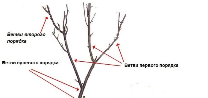 Порядок расположения ветвей на молодом персике