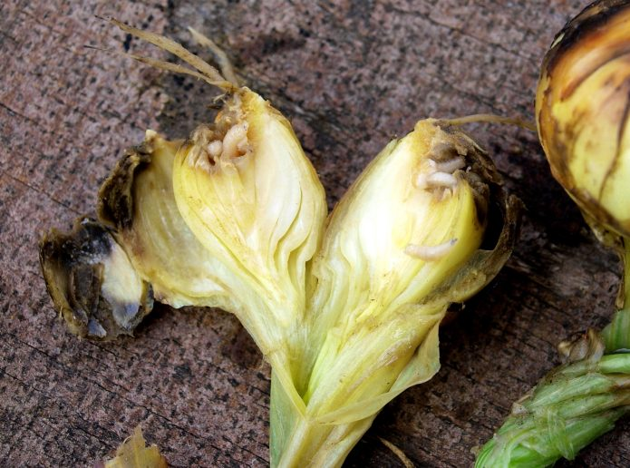 Луковица, пораженная личинками луковой мухи
