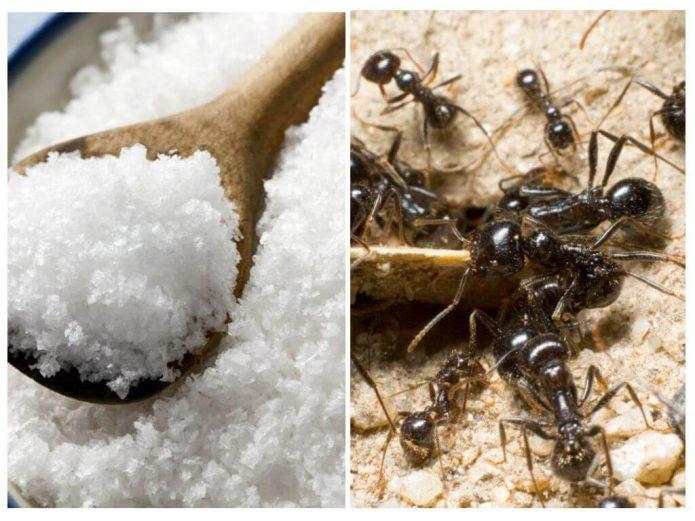 Поваренная соль и муравьи