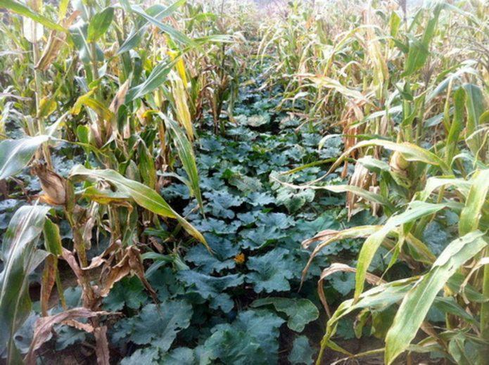 Защитные кулисы из рядов кукурузы