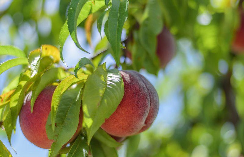 Персики в саду