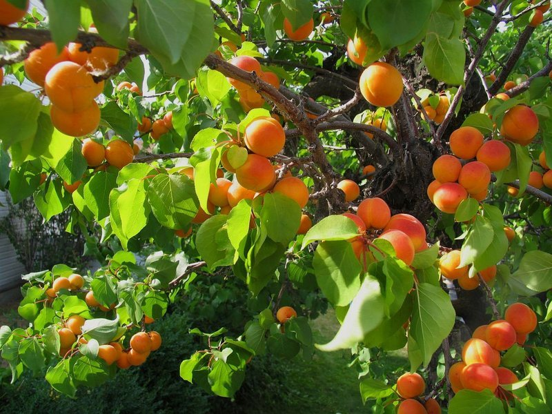 Жуки в абрикосах