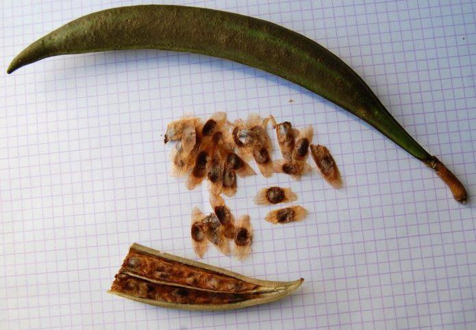 Плод и семена кампсиса