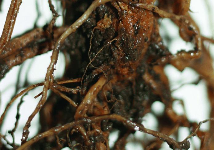 Гниль на корнях растения
