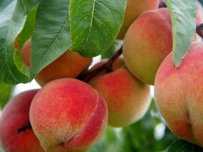 Персик Бархатный сезон
