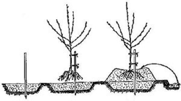 Посадка дерева на холмик