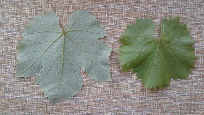 Листья тёмного и белого винограда