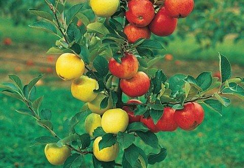 Результат прививки разных сортов яблони на одном подвое