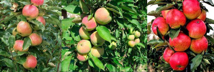 плоды различных сортов колонновидных яблонь