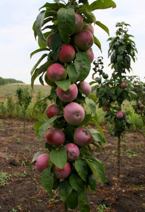 колонновидная яблоня с урожаем
