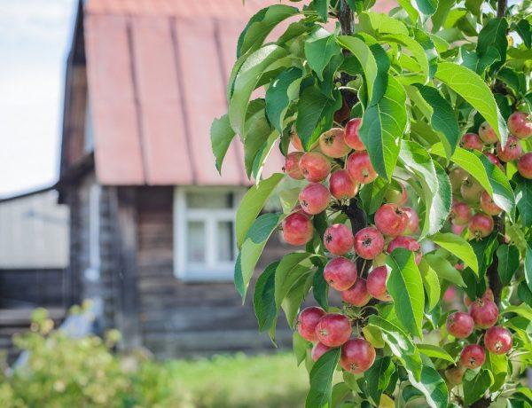 Секреты выращивания яблок на «колоннах»