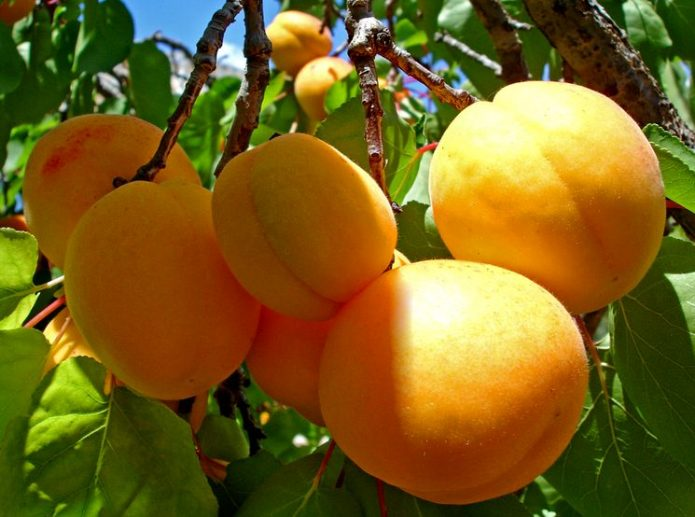 Сорт абрикоса Медовый