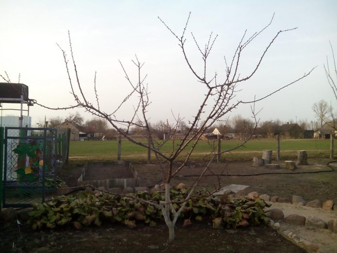 Молодое дерево абрикоса