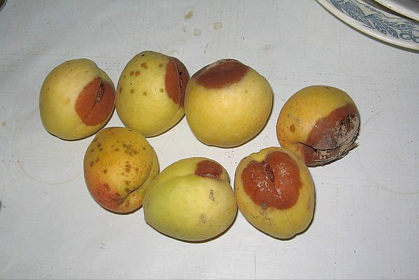 Плодовая гниль на абрикосе