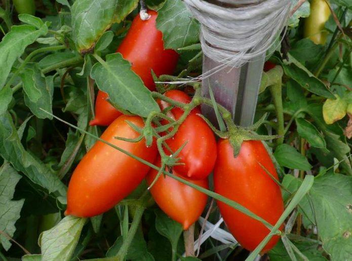 Плоды томата Чибис