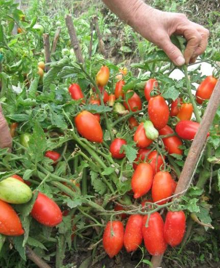 Подвязка томатов к кольям