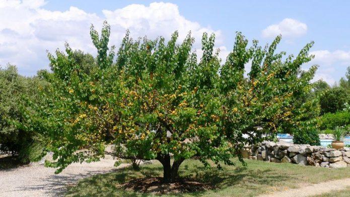 Абрикосовое дерево с раскидистой кроной