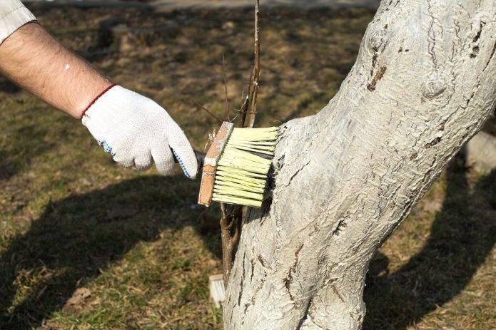 Побелка ствола дерева