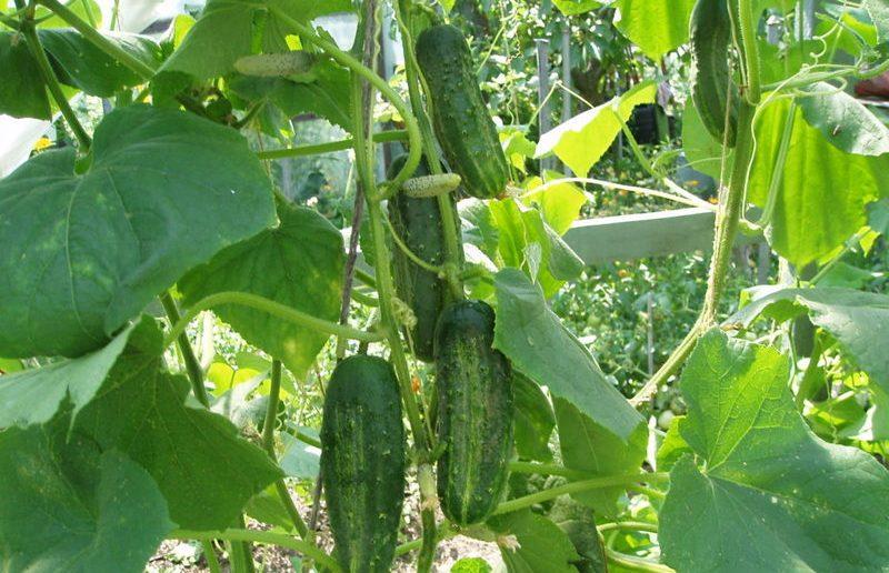 Прищипывание плетей помогает повысить урожайность огурцов