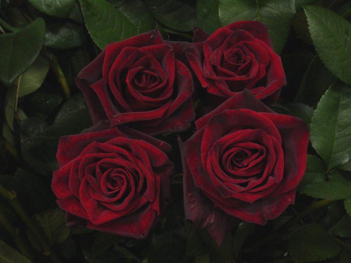 Срезанные розы Чёрная Магия