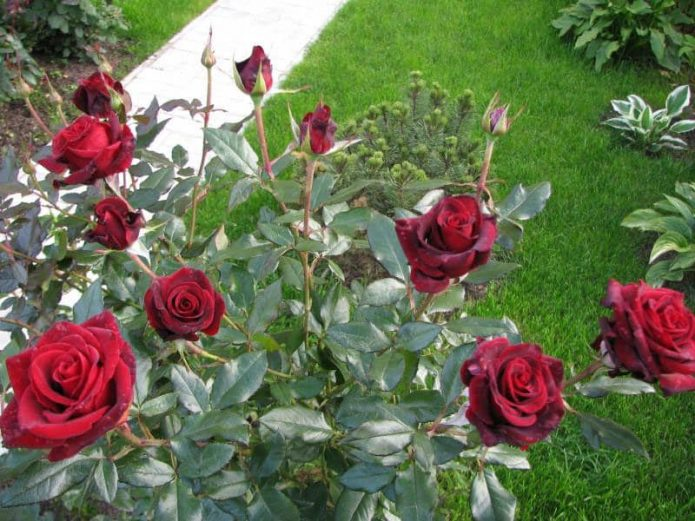 Куст роз Чёрная Магия
