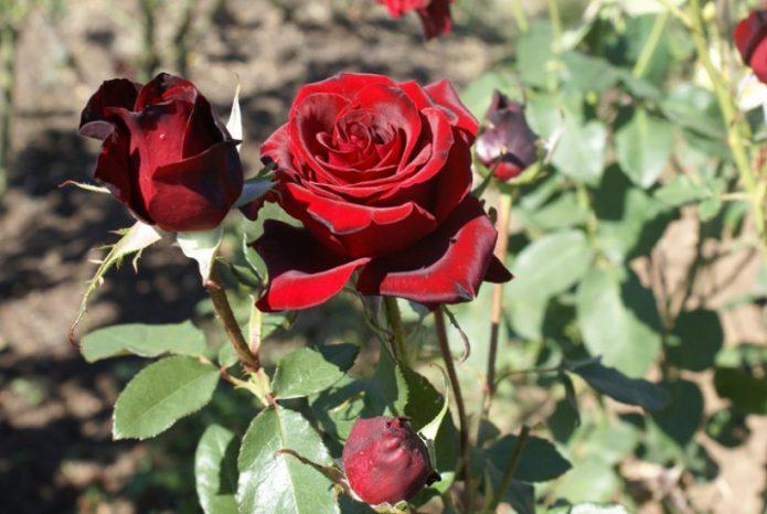 Бутон розы Чёрная Магия