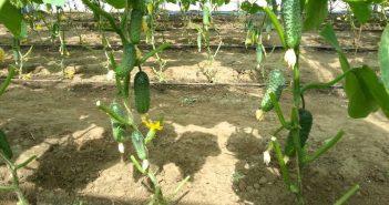 Обламывание стеблей у огурцов