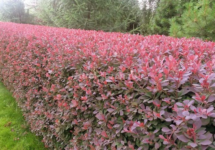 Живая изгородь из кустов барбариса