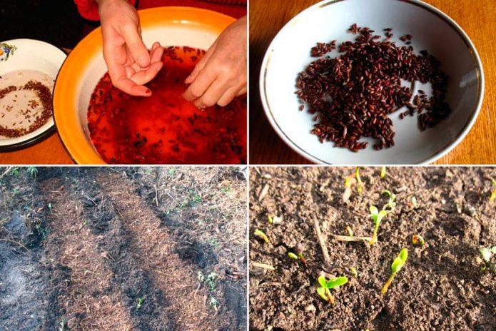 Размножение барбариса семенами