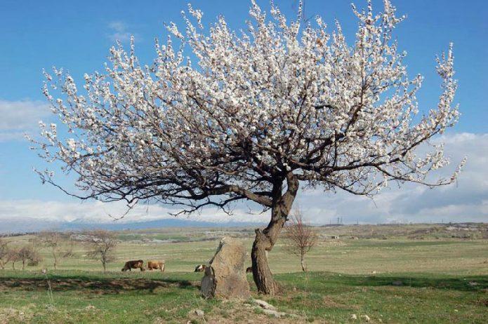 Цветущий абрикос Ананасный