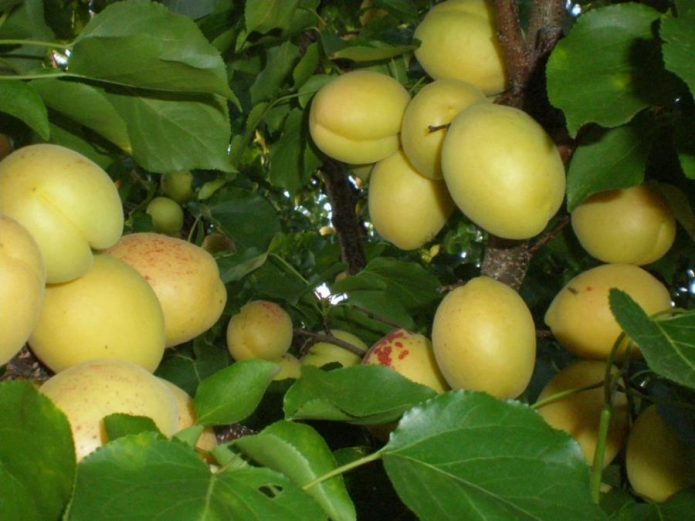 Плоды абрикоса сорта Ананасный