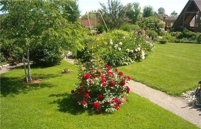 Одиночная посадка куста роз Чёрная Магия