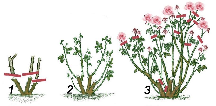 Обрезка роз в первые два сезона