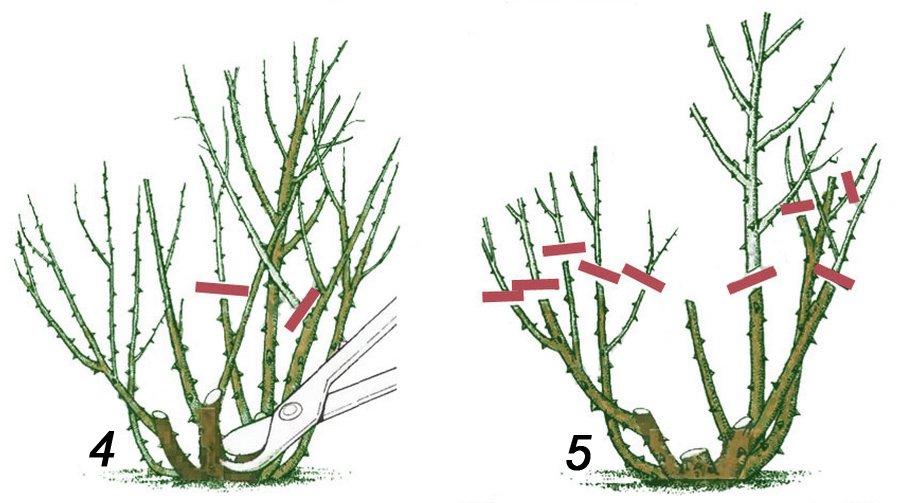 Обрезка роз на третий и следующие годы весной