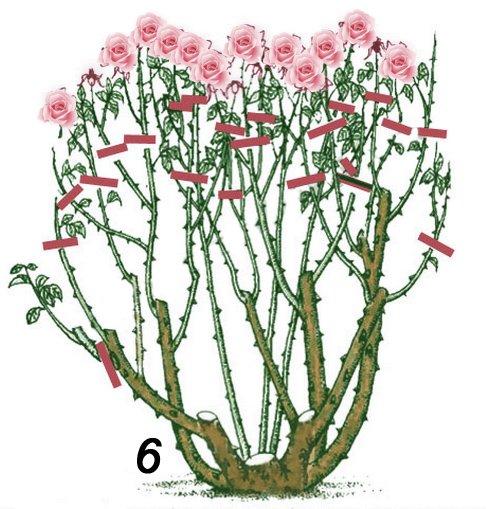 Обрезка розы на третий и следующие годы осенью