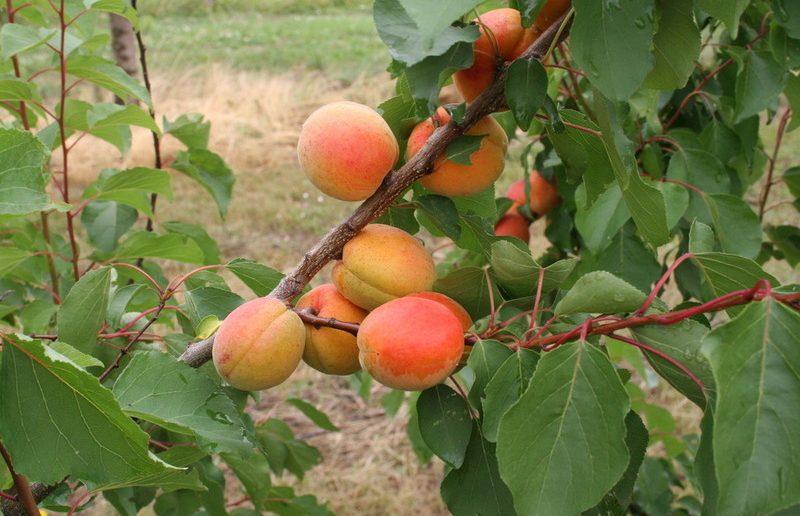 Привитый абрикос
