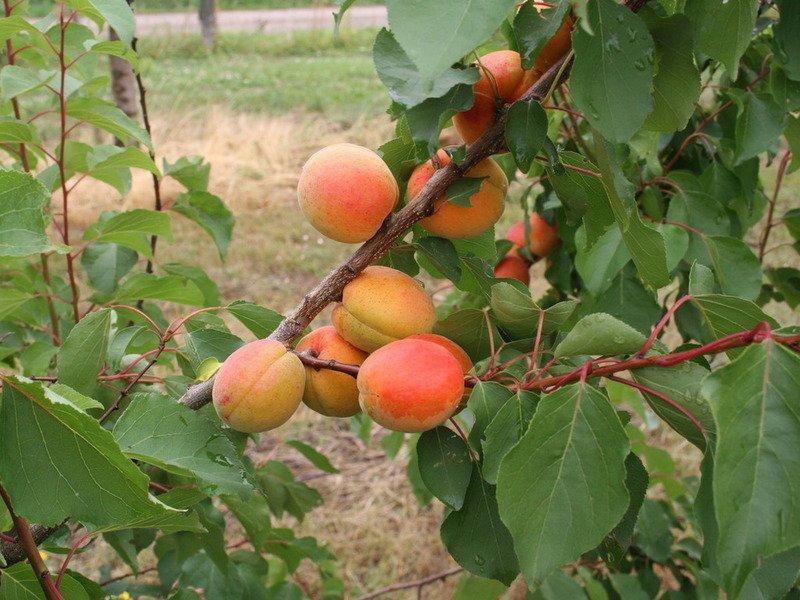 Как привить абрикос на абрикос на сливу
