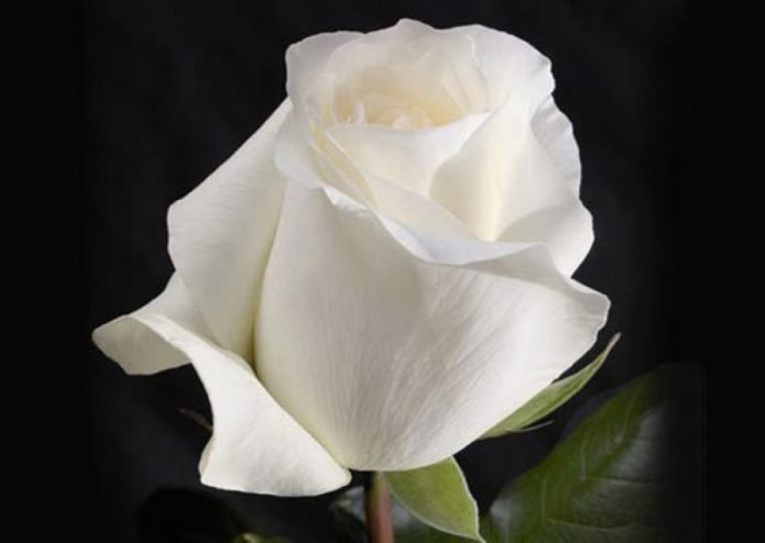 Бутон розы Анастасия