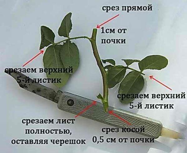 Черенок чайно-гибридной розы