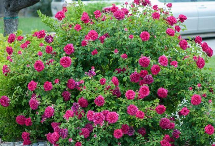 Куст роз Уильям Шекспир
