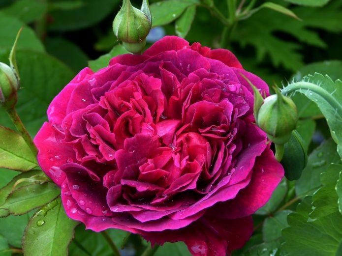 Цветок розы Уильям Шекспир