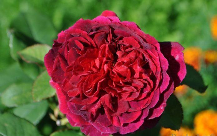 Цветок розы, освещённый солнцем