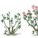 Обрезка роз в первые два года