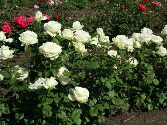 Цветущие розы сорта Анастасия