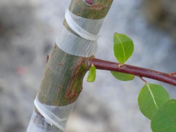 Привитый методом окулировки абрикос