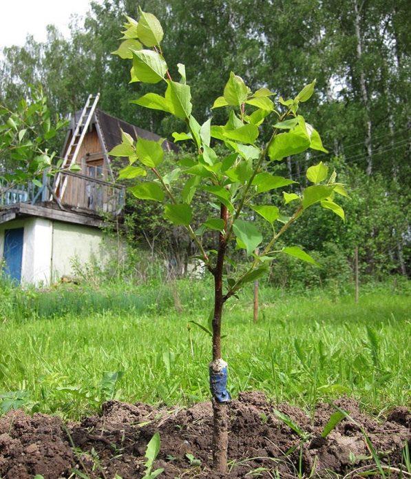 Активная вегетация привитого абрикоса