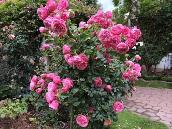 Куст роз Леонардо да Винчи