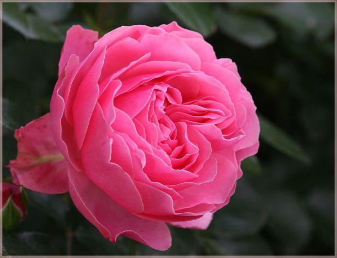 Цветок розы Леонардо да Винчи