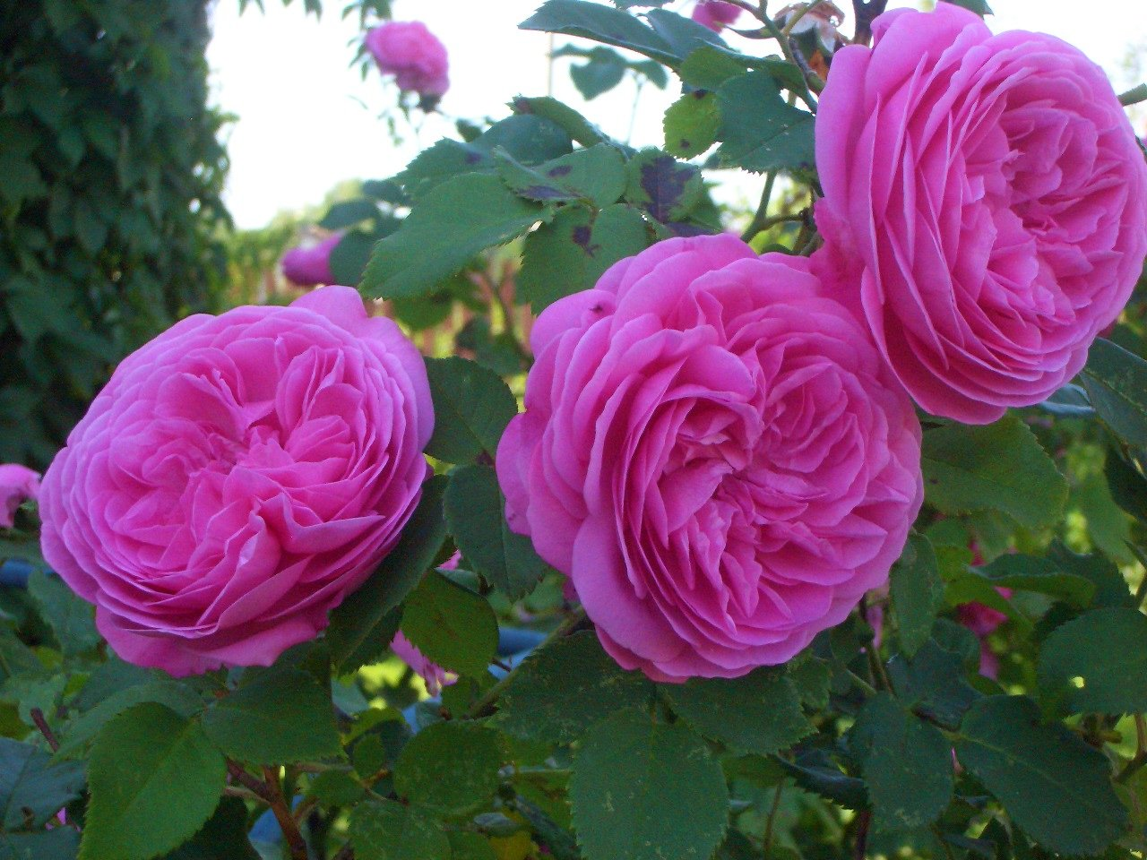 Роза Louise Odier