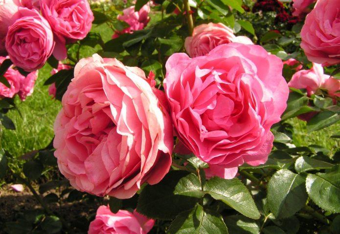 Роза на солнце